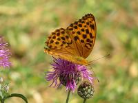 Halom-hegyi pillangó