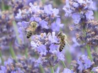 Méhek a levendulán